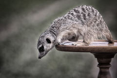 Meerkats. Stay on brown table Stock Photography