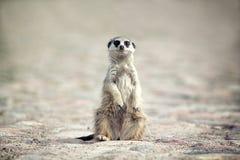 Meerkats. Meerkat sit on rock road Stock Photo