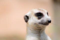 Meerkats Fotos de Stock Royalty Free