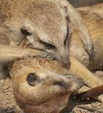 Meerkats. The meerkat or suricate is a small mammal Royalty Free Stock Photography