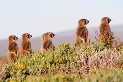 Meerkats Imagens de Stock Royalty Free
