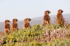 Meerkats Immagini Stock Libere da Diritti