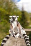 Meerkats Obraz Royalty Free