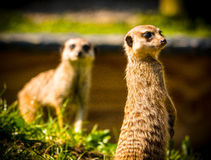 Meerkats Arkivfoton