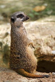 Meerkats fotografie stock