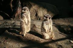 Meerkats 3 Stockfotografie