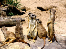 Meerkats Fotos de Stock