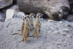 Meerkats Photographie stock libre de droits
