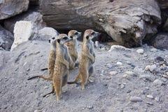 Meerkats Fotografia Royalty Free