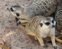 Meerkats Στοκ φωτογραφία με δικαίωμα ελεύθερης χρήσης