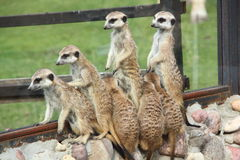 Meerkats. Fotografering för Bildbyråer