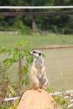 Meerkats. Imagenes de archivo