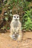 Meerkats. Foto de archivo