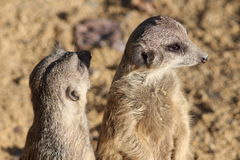 Meerkats 库存图片