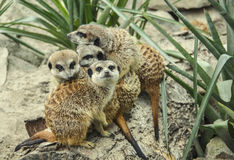 Meerkats Imagem de Stock Royalty Free