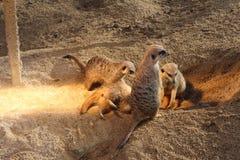 Meerkats Zdjęcie Stock