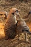 Meerkats 免版税库存图片