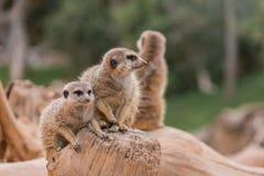2 meerkats Стоковые Фото