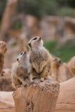 2 meerkats Стоковое Изображение