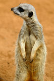 Meerkats Royalty Free Stock Image