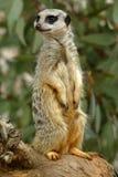 Meerkats Stock Photos