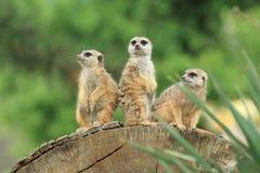 Meerkats Obraz Stock