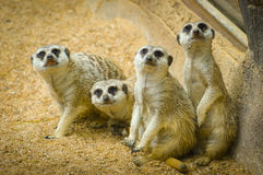 Meerkats Photos stock