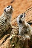 meerkats 免版税库存照片