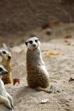 Meerkats Zdjęcia Stock