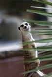 Meerkats Στοκ φωτογραφίες με δικαίωμα ελεύθερης χρήσης