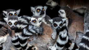 Meerkats! Royaltyfri Foto