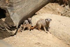 Meerkats Стоковые Изображения