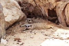 Meerkats Stock Foto