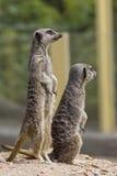 Meerkats Image libre de droits