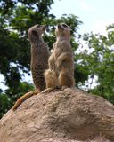 Meerkats Royalty Free Stock Photo