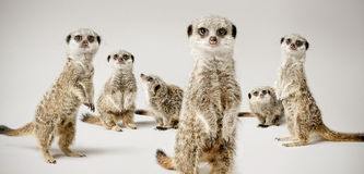 Meerkats Photographie stock