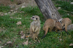 Meerkats Стоковое фото RF