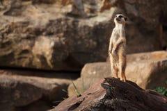 Meerkats Royaltyfria Bilder