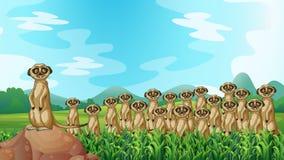 Meerkats ilustración del vector