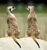 Meerkats Стоковые Фотографии RF