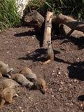Meerkats Imagem de Stock