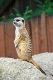 Meerkats Foto de Stock Royalty Free