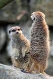Meerkats Lizenzfreies Stockfoto