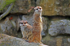 Meerkats Stockbild