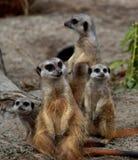 Meerkats Imagen de archivo libre de regalías