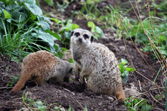 Meerkats. Two little meerkats, one digging a hole Royalty Free Stock Photography
