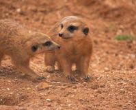 Meerkats Foto de archivo libre de regalías