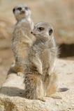 Meerkats stock fotografie