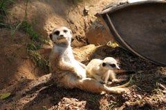 Meerkats Lizenzfreies Stockbild