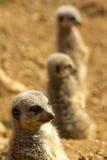 Meerkats 免版税图库摄影